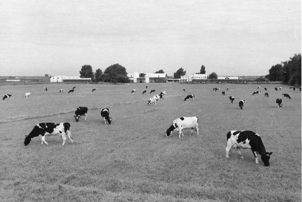 Vaches laitières dans le pré, à proximité de la grange