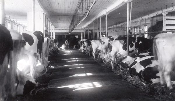 Intérieur étable et vaches de production laitière