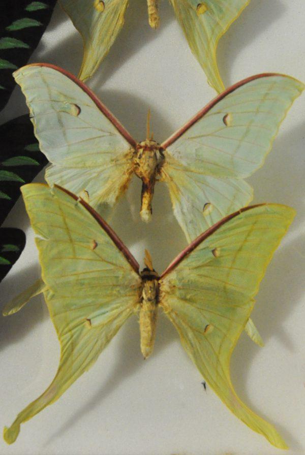 Papillon « Actias luna »