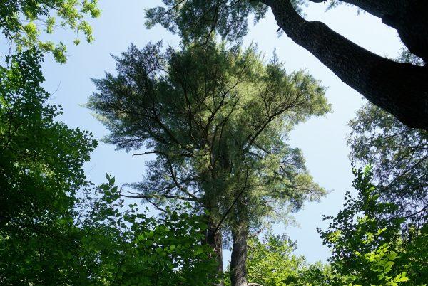 Un des trois pins blancs