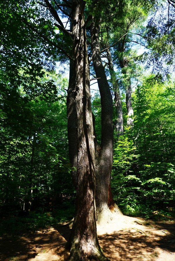 Ensemble de pins blancs et de pruches du Canada