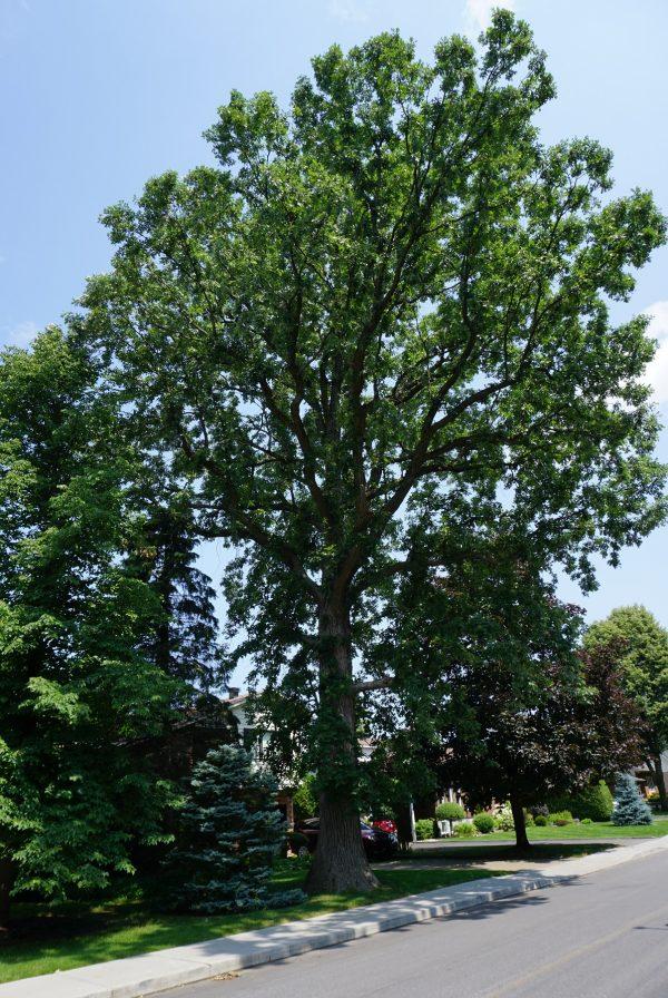 Grand chêne à gros fruits rue Beaumont